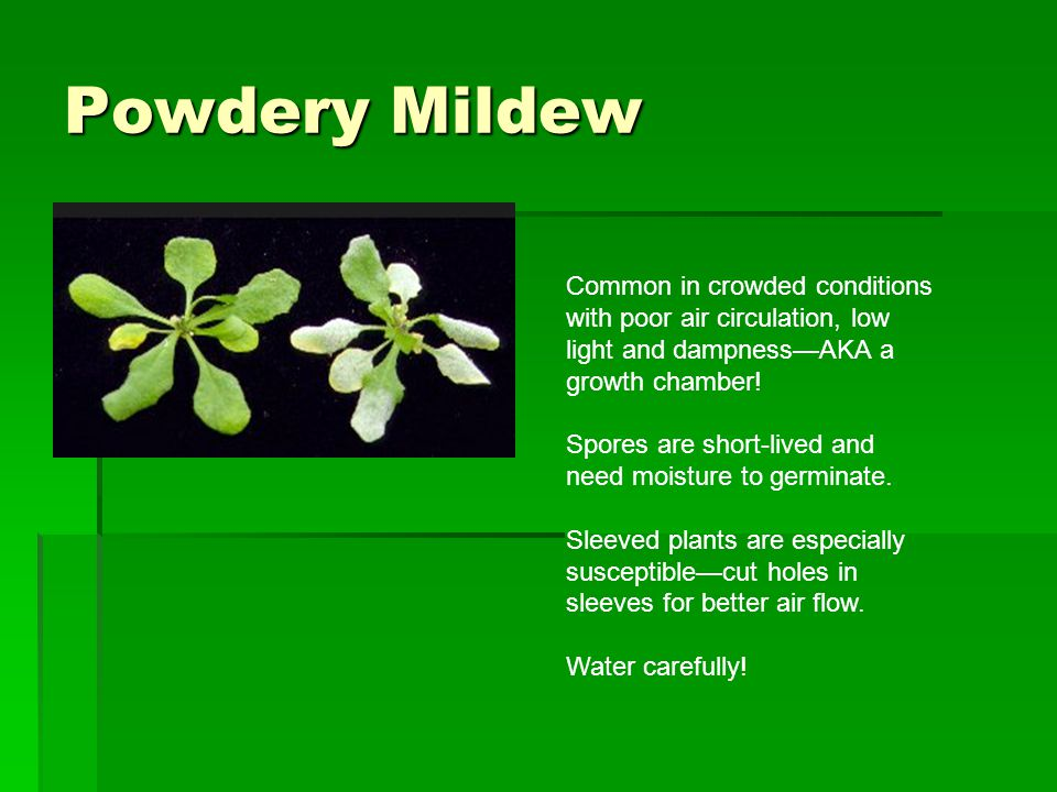 Powdery Mildew Common in crowded conditions with poor air circulation, low light and dampness—AKA a growth chamber! Spores are short-lived and need mo