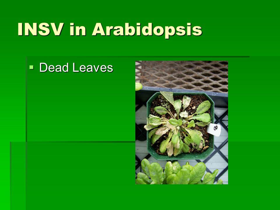 INSV in Arabidopsis  Dead Leaves