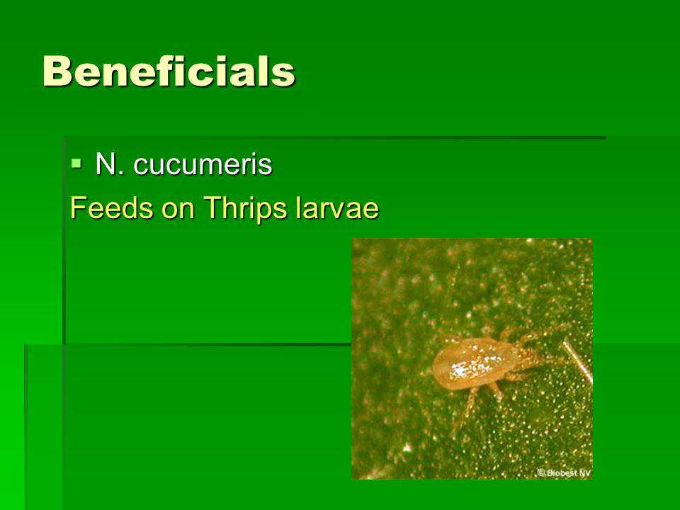 Beneficials  N. cucumeris Feeds on Thrips larvae