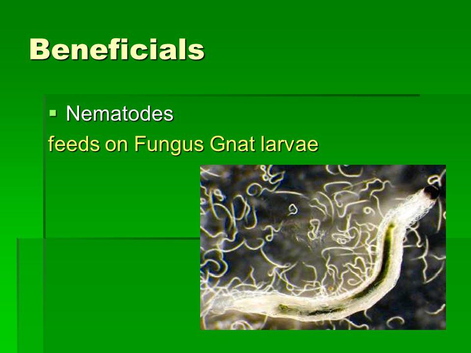 Beneficials  Nematodes feeds on Fungus Gnat larvae