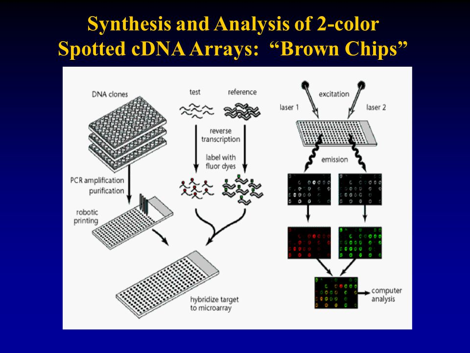 Synthesis and Analysis of 2-color Spotted cDNA Arrays: Brown Chips