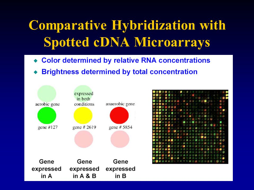 Comparative Hybridization with Spotted cDNA Microarrays