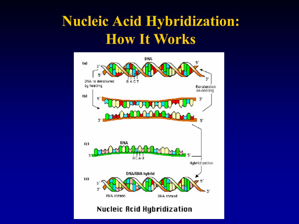 Nucleic Acid Hybridization: How It Works