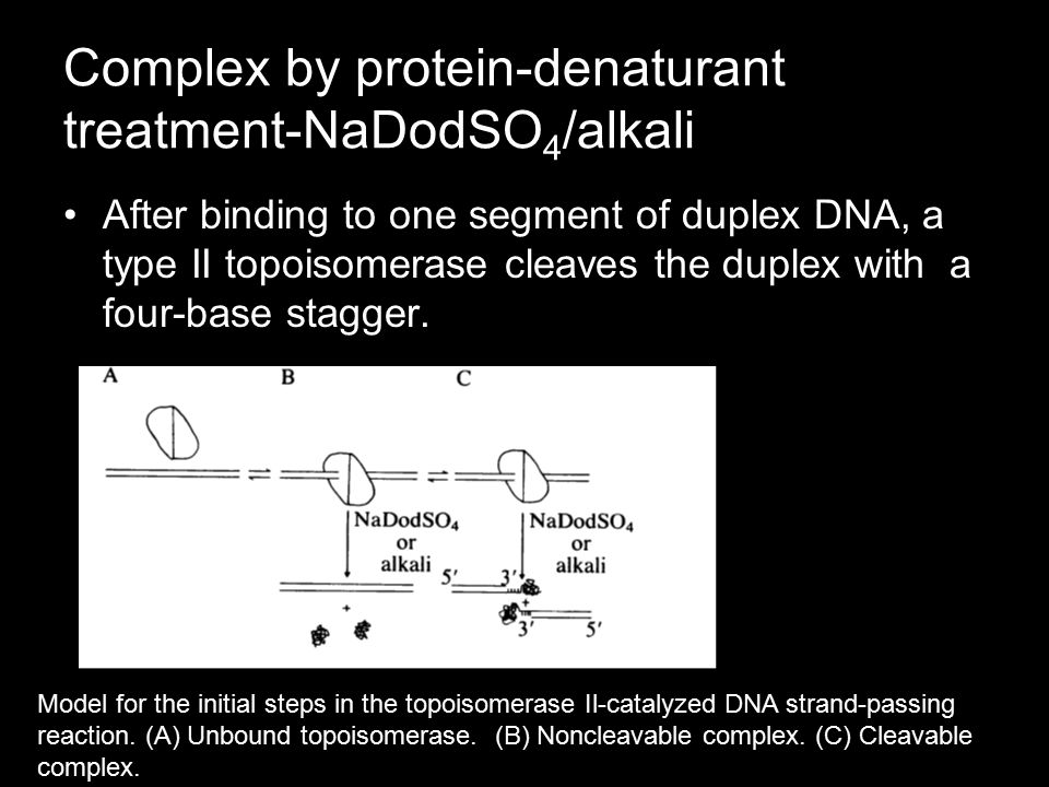 Complex by protein-denaturant treatment-NaDodSO 4 /alkali After binding to one segment of duplex DNA, a type II topoisomerase cleaves the duplex with a four-base stagger.