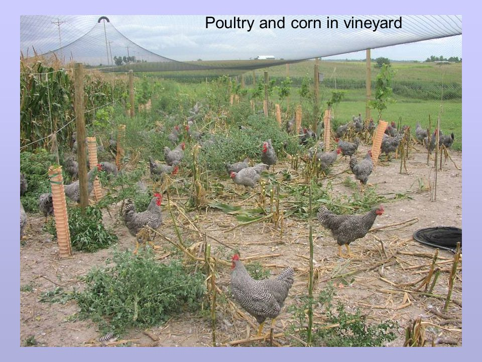 Poultry and corn in vineyard
