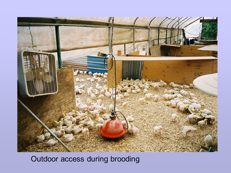 Outdoor access during brooding