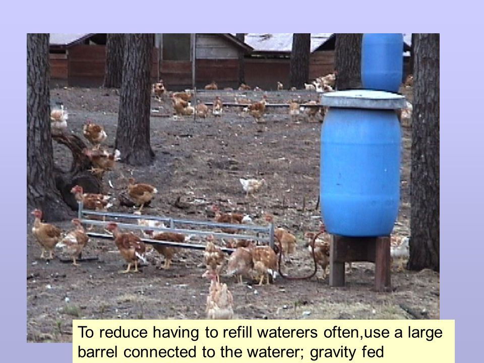 To reduce having to refill waterers often,use a large barrel connected to the waterer; gravity fed
