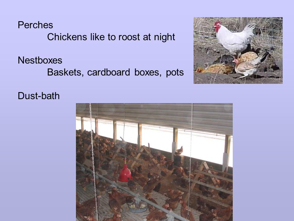 Perches Chickens like to roost at night Nestboxes Baskets, cardboard boxes, pots Dust-bath