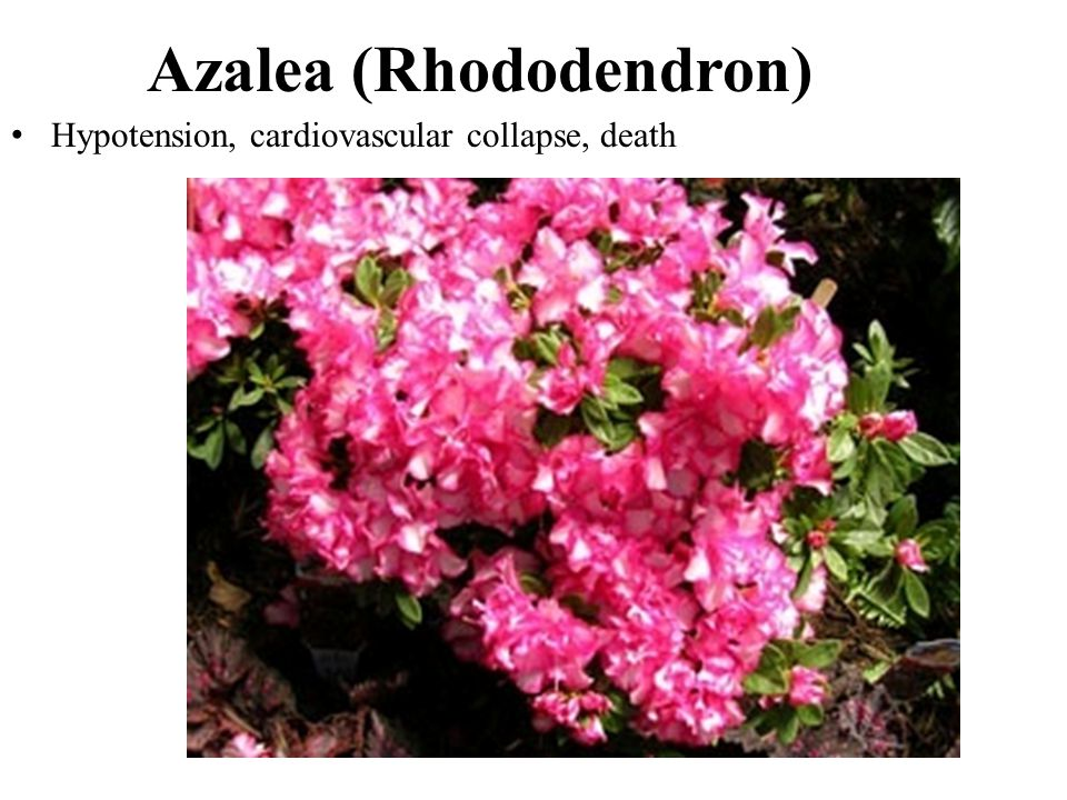 Azalea (Rhododendron) Hypotension, cardiovascular collapse, death