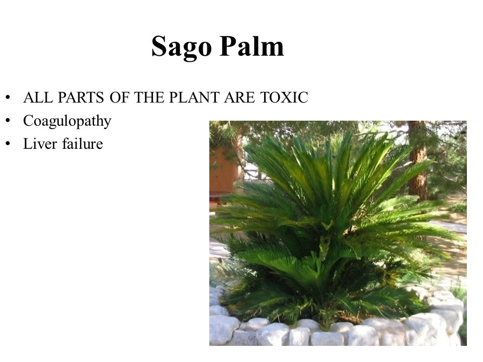 Sago Palm ALL PARTS OF THE PLANT ARE TOXIC Coagulopathy Liver failure