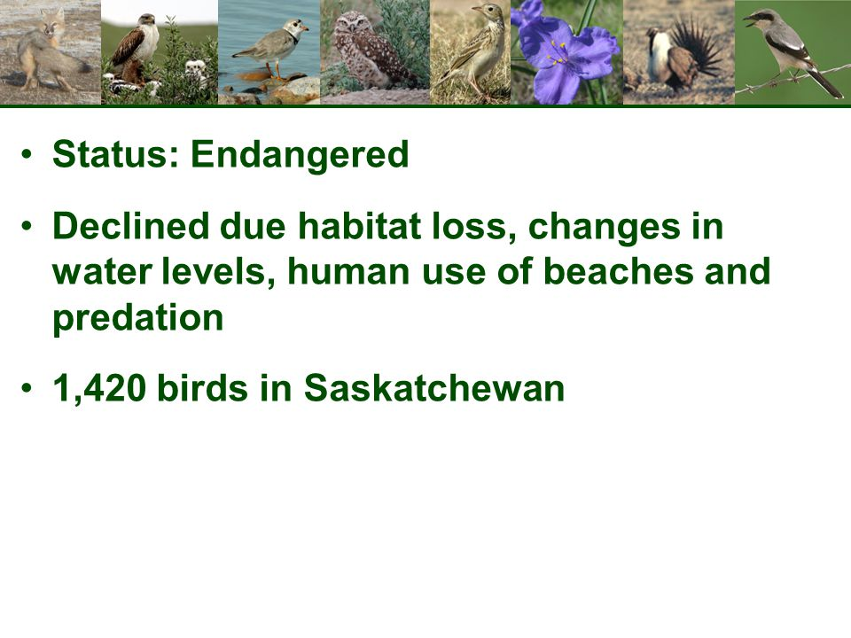Status: Endangered Declined due habitat loss, changes in water levels, human use of beaches and predation 1,420 birds in Saskatchewan