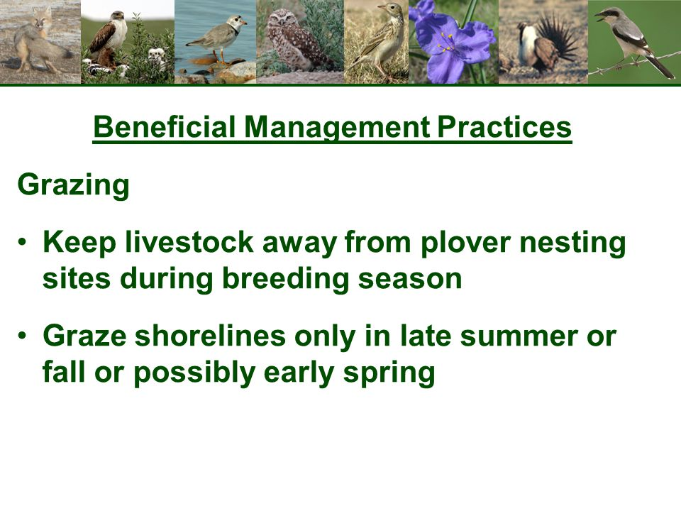 Beneficial Management Practices Grazing Keep livestock away from plover nesting sites during breeding season Graze shorelines only in late summer or f