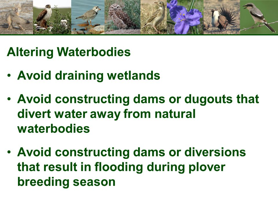Altering Waterbodies Avoid draining wetlands Avoid constructing dams or dugouts that divert water away from natural waterbodies Avoid constructing dam