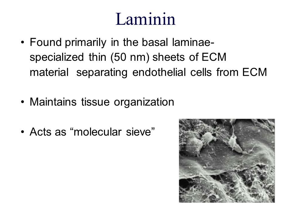 Laminin 10  m Found primarily in the basal laminae- specialized thin (50 nm) sheets of ECM material separating endothelial cells from ECM Maintains t