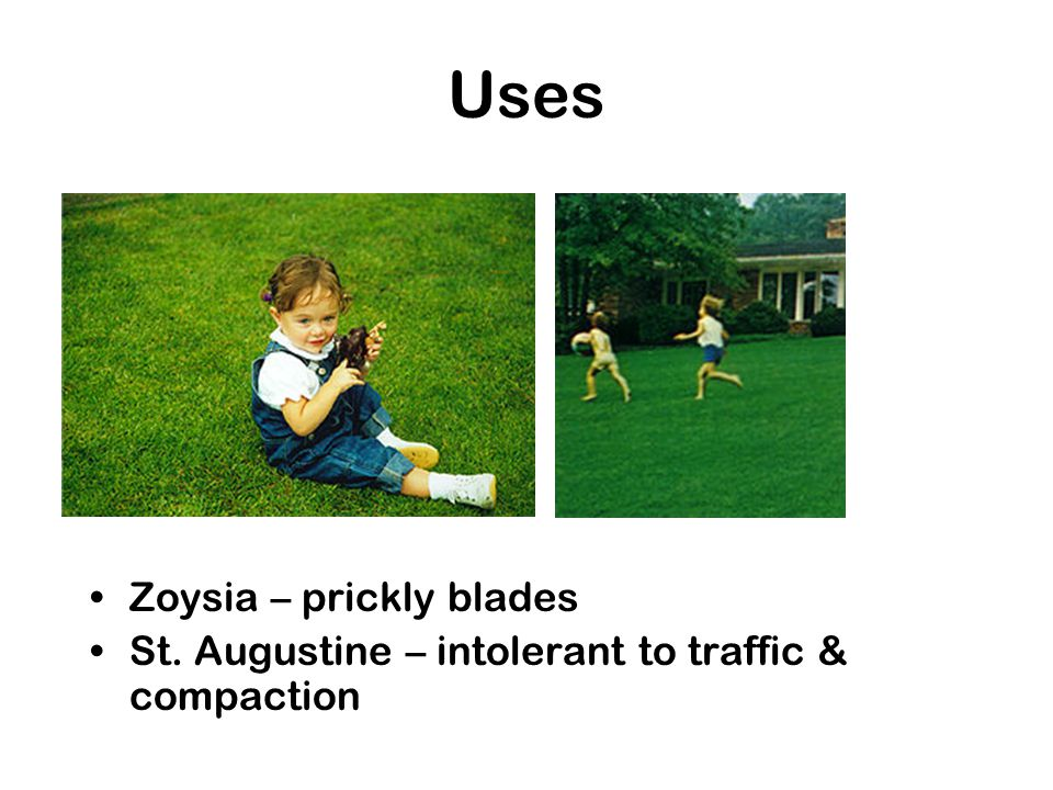 Uses Zoysia – prickly blades St. Augustine – intolerant to traffic & compaction