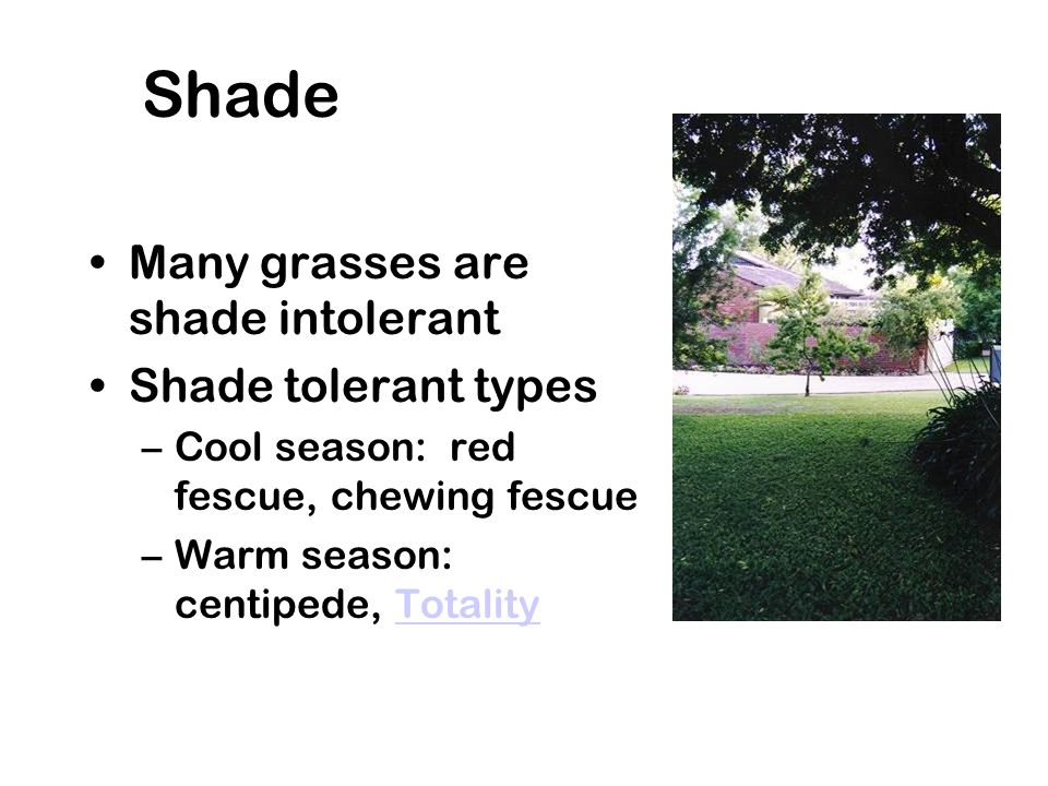 Shade Many grasses are shade intolerant Shade tolerant types –Cool season: red fescue, chewing fescue –Warm season: centipede, TotalityTotality