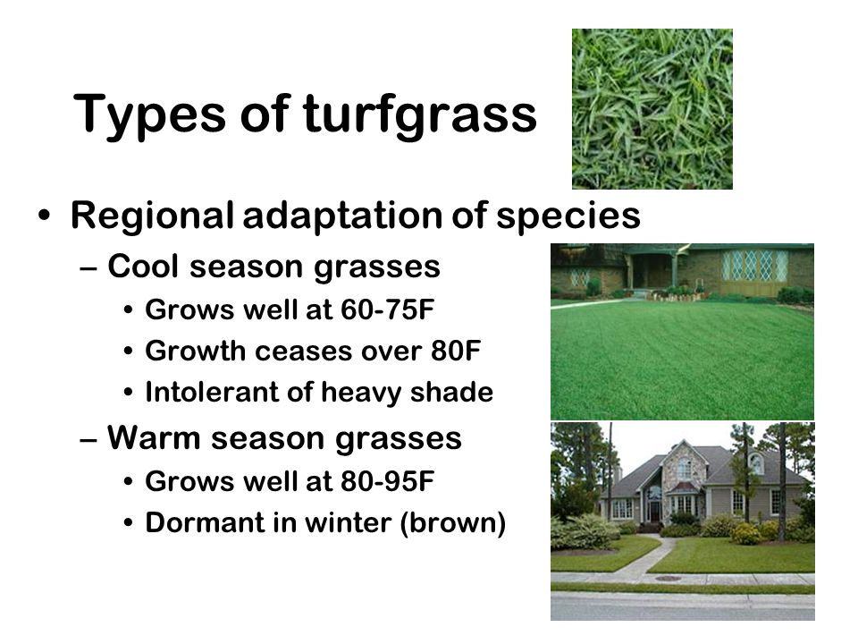 Maintenance Low maintenance –Resistant to drought & diseases –Cool season: Tall fescue –Warm season: centipede, zoysia