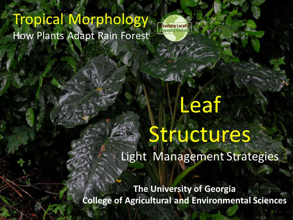 Tropical Morphology How Plants Adapt Rain Forest The University of Georgia College of Agricultural and Environmental Sciences Leaf Structures Light Ma