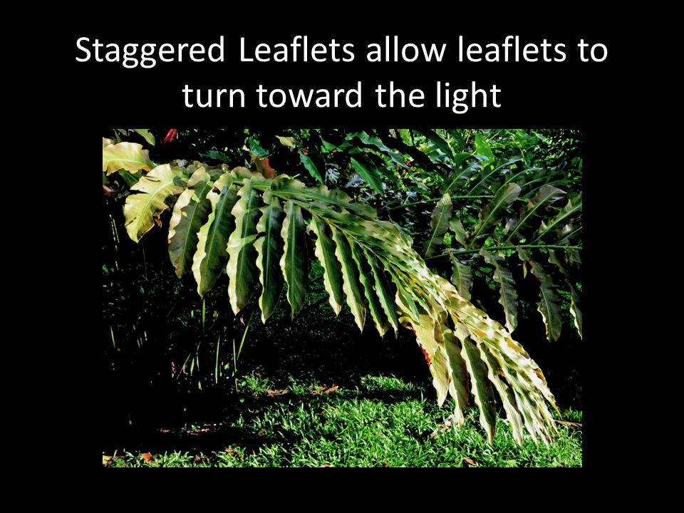 Staggered Leaflets allow leaflets to turn toward the light