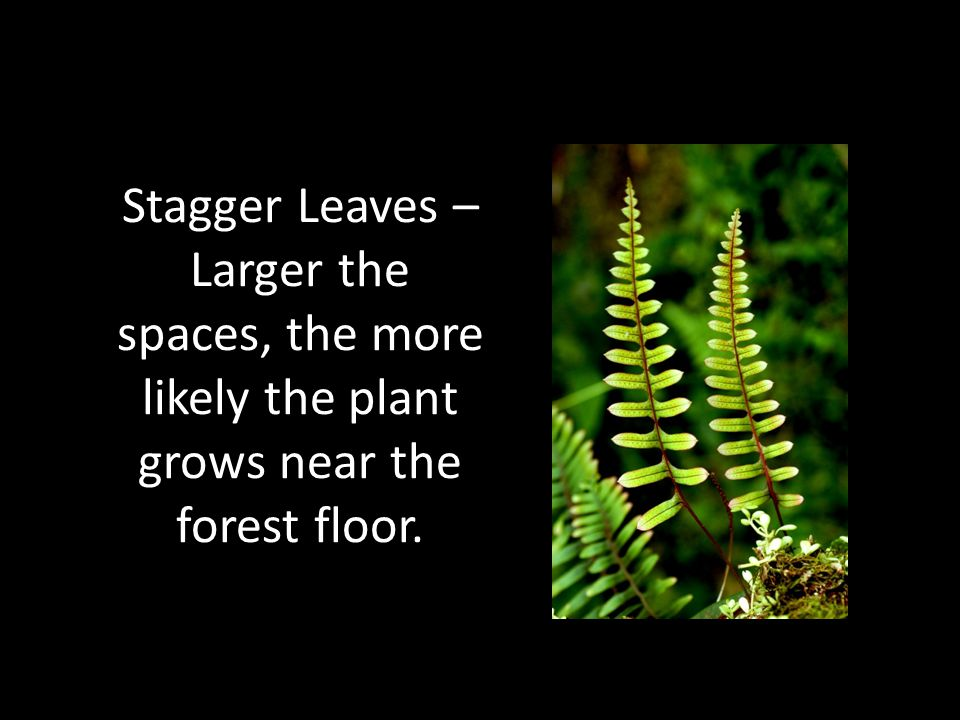 Stagger Leaves – Larger the spaces, the more likely the plant grows near the forest floor.
