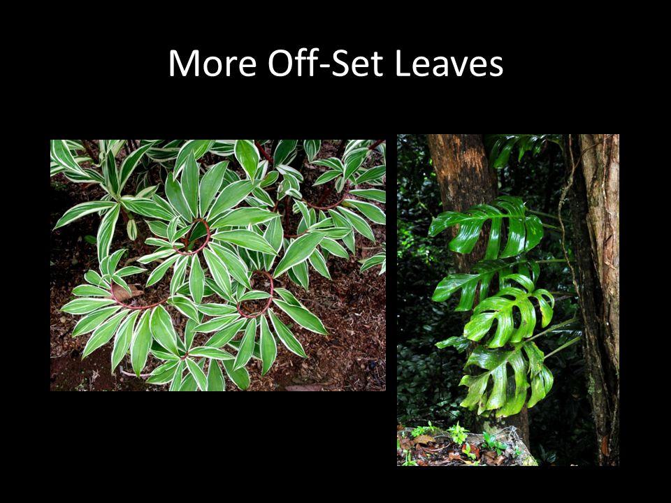 More Off-Set Leaves