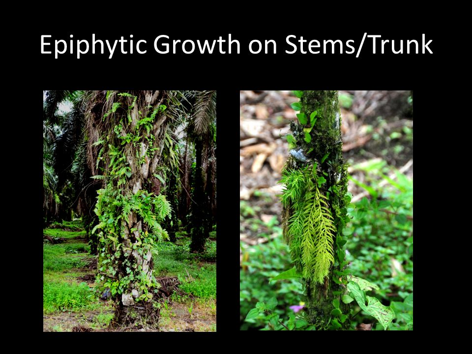 Epiphytic Growth on Stems/Trunk