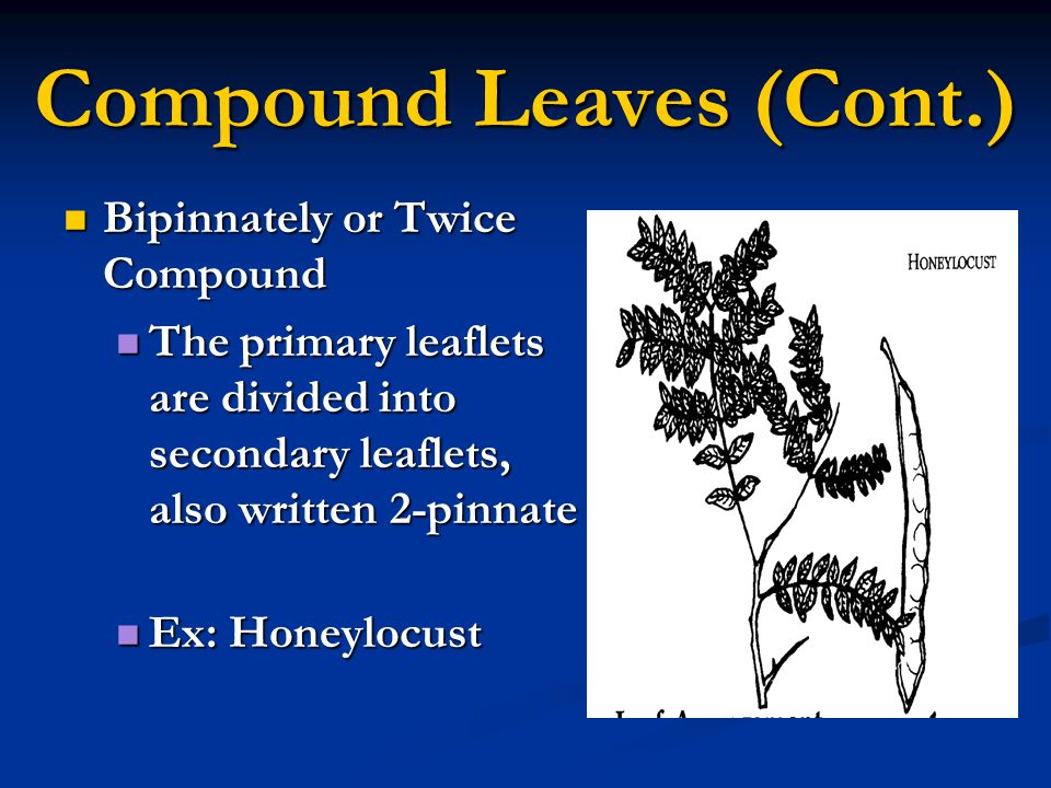 Compound Leaves (Cont.) Bipinnately or Twice Compound Bipinnately or Twice Compound The primary leaflets are divided into secondary leaflets, also wri