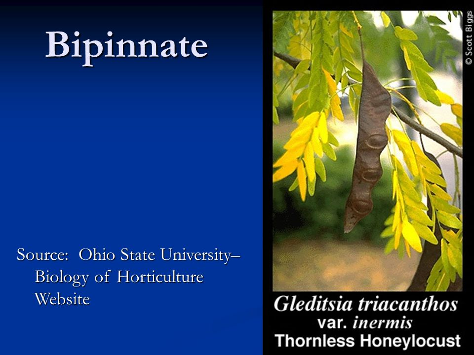 Source: Ohio State University– Biology of Horticulture Website Bipinnate