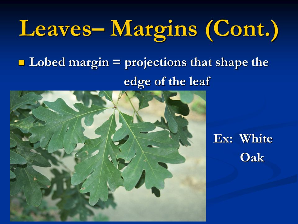 Leaves– Margins (Cont.) Lobed margin = projections that shape the Lobed margin = projections that shape the edge of the leaf edge of the leaf Ex: Whit