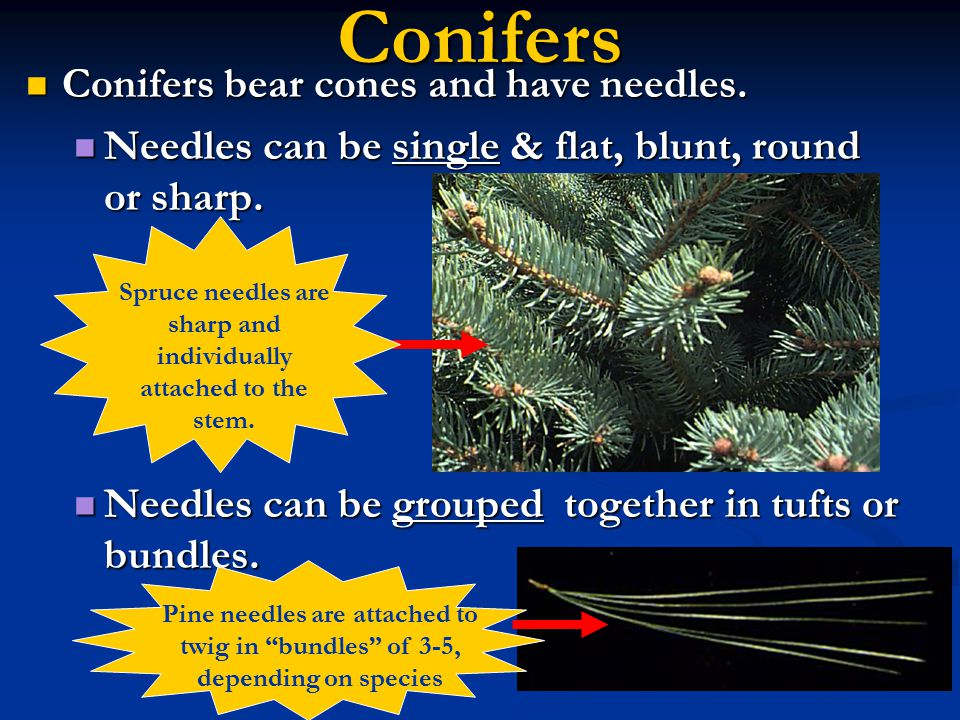 Conifers Conifers bear cones and have needles. Conifers bear cones and have needles. Needles can be single & flat, blunt, round or sharp. Needles can