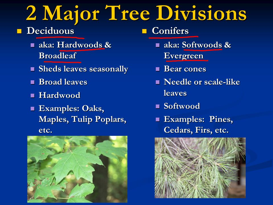 Tree Identification Trees may be identified by various means including: Trees may be identified by various means including: Leaves Leaves Bark Bark Tree Shape Tree Shape Flowers and Fruit Flowers and Fruit Etc.