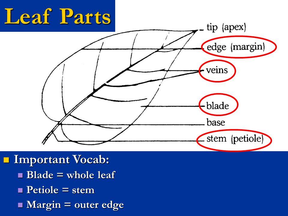 Leaves– Veins (Cont.) Pinnate Veins (Ex: Dogwood) Pinnate Veins (Ex: Dogwood)