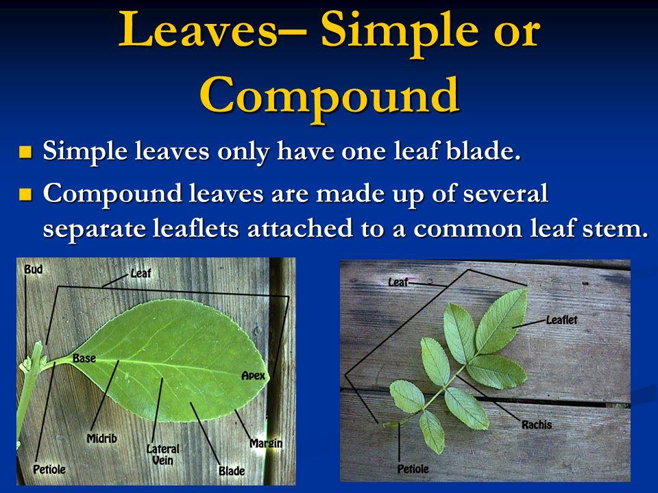 Leaf Arrangement (Continued) Alternate Opposite Whorled
