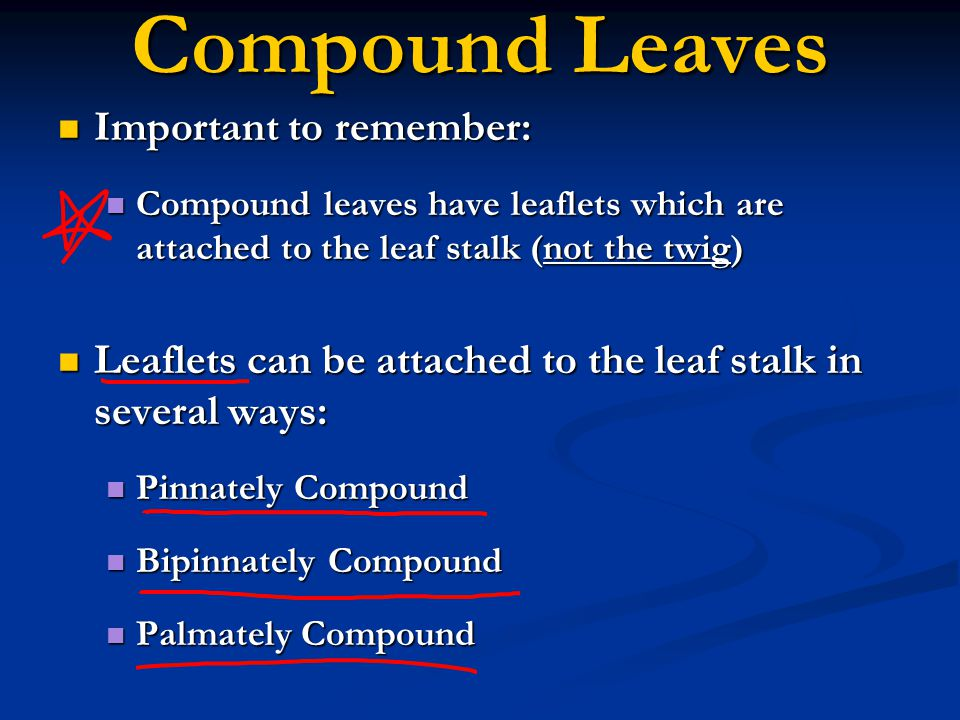 Leaf Arrangement (Continued) It is important to remember… It is important to remember… The opposite vs.