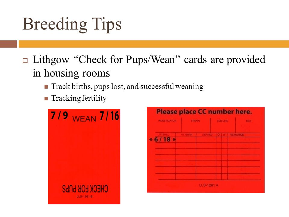 Breeding Tips  Lithgow Check for Pups/Wean cards are provided in housing rooms Track births, pups lost, and successful weaning Tracking fertility
