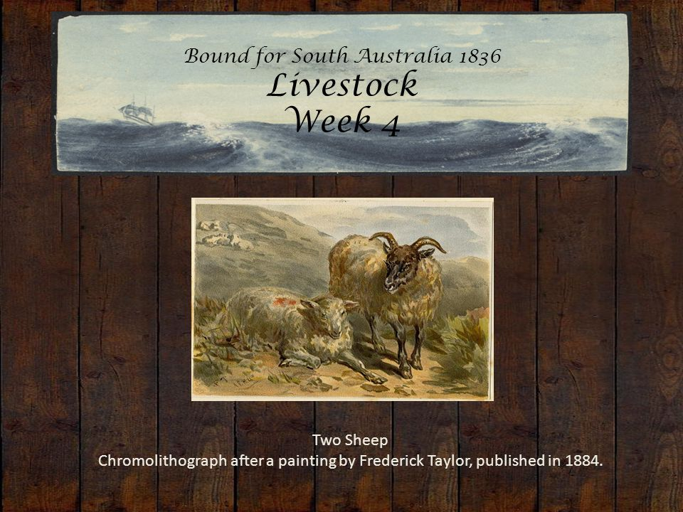 Bound for South Australia 1836 Livestock Week 4 Two Sheep Chromolithograph after a painting by Frederick Taylor, published in 1884.