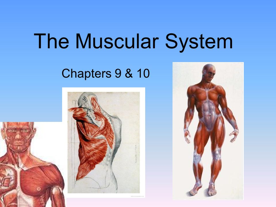 The Muscular System Chapters 9 & 10