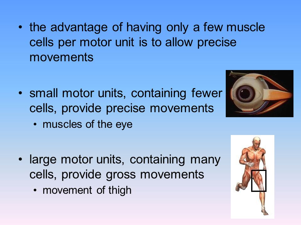 the advantage of having only a few muscle cells per motor unit is to allow precise movements small motor units, containing fewer cells, provide precis