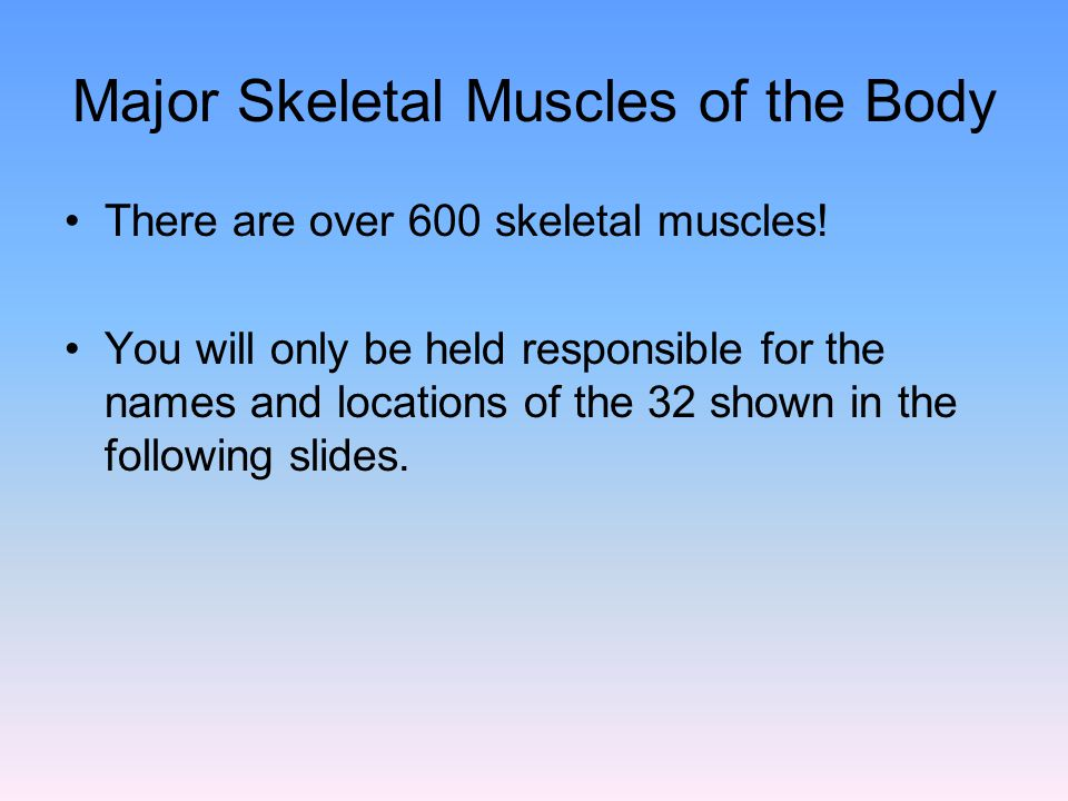 Major Skeletal Muscles of the Body There are over 600 skeletal muscles! You will only be held responsible for the names and locations of the 32 shown