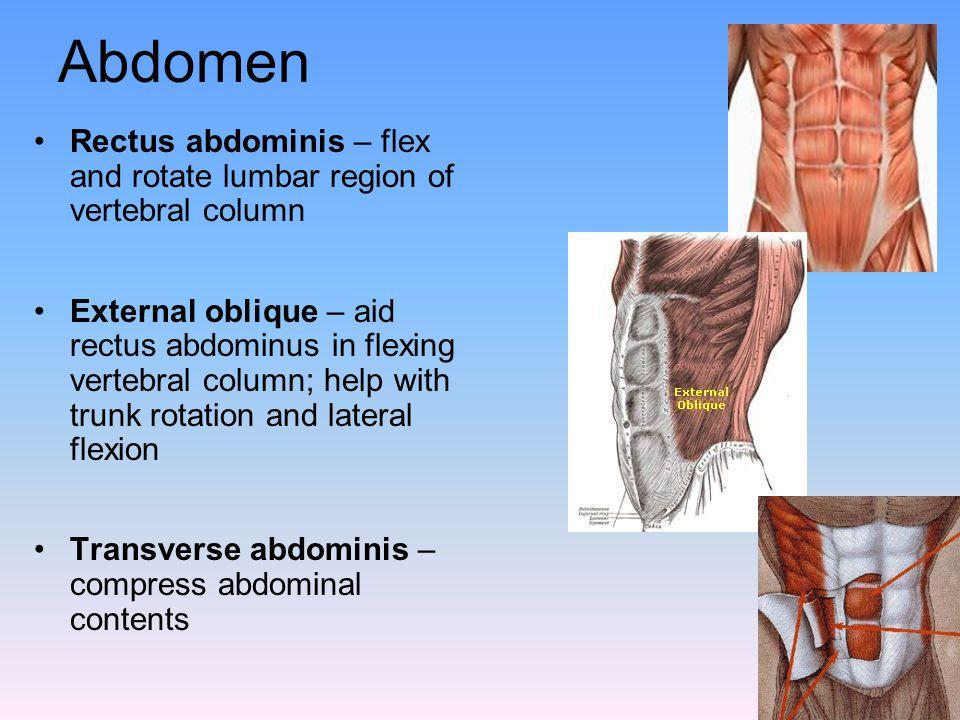 Abdomen Rectus abdominis – flex and rotate lumbar region of vertebral column External oblique – aid rectus abdominus in flexing vertebral column; help
