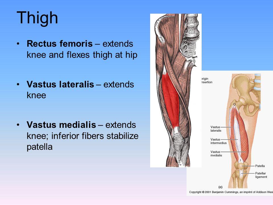 Thigh Rectus femoris – extends knee and flexes thigh at hip Vastus lateralis – extends knee Vastus medialis – extends knee; inferior fibers stabilize