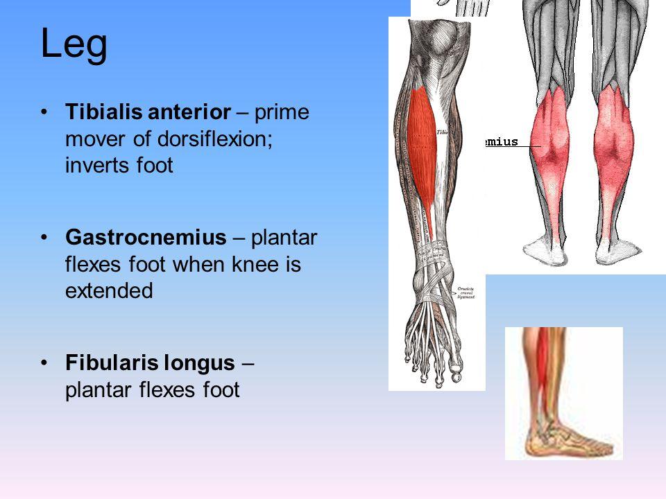 Leg Tibialis anterior – prime mover of dorsiflexion; inverts foot Gastrocnemius – plantar flexes foot when knee is extended Fibularis longus – plantar
