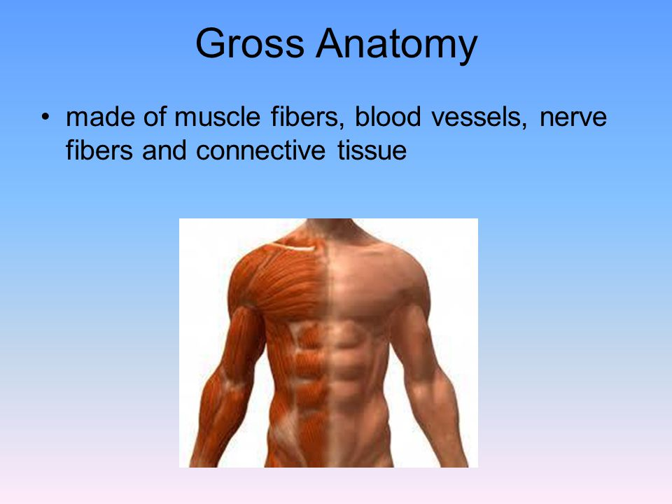 Major Skeletal Muscles of the Body There are over 600 skeletal muscles.