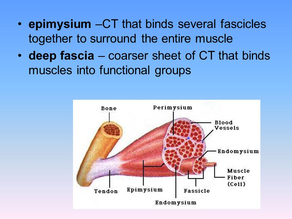 epimysium –CT that binds several fascicles together to surround the entire muscle deep fascia – coarser sheet of CT that binds muscles into functional