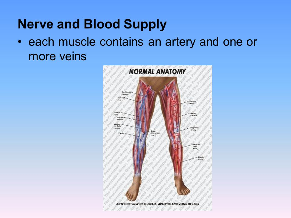 Nerve and Blood Supply each muscle contains an artery and one or more veins