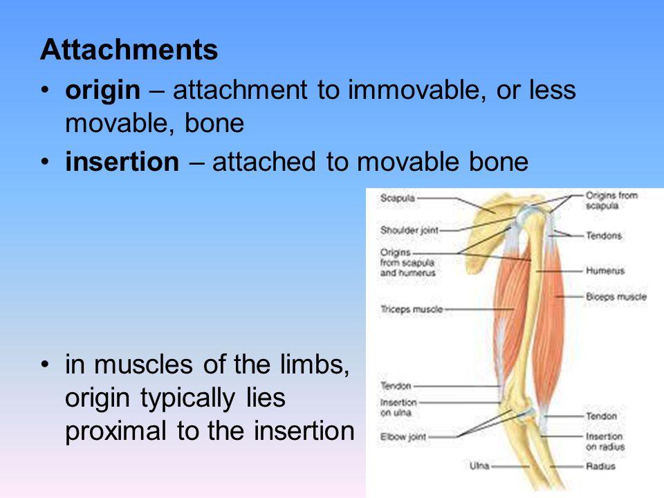 Shoulder Trapezius – stabilizes, raises, retracts and rotates scapula Deltoid – prime mover of arm abduction