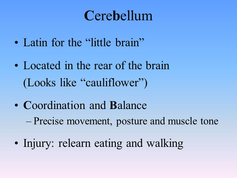 Cerebellum Latin for the little brain Located in the rear of the brain (Looks like cauliflower ) Coordination and Balance –Precise movement, posture and muscle tone Injury: relearn eating and walking