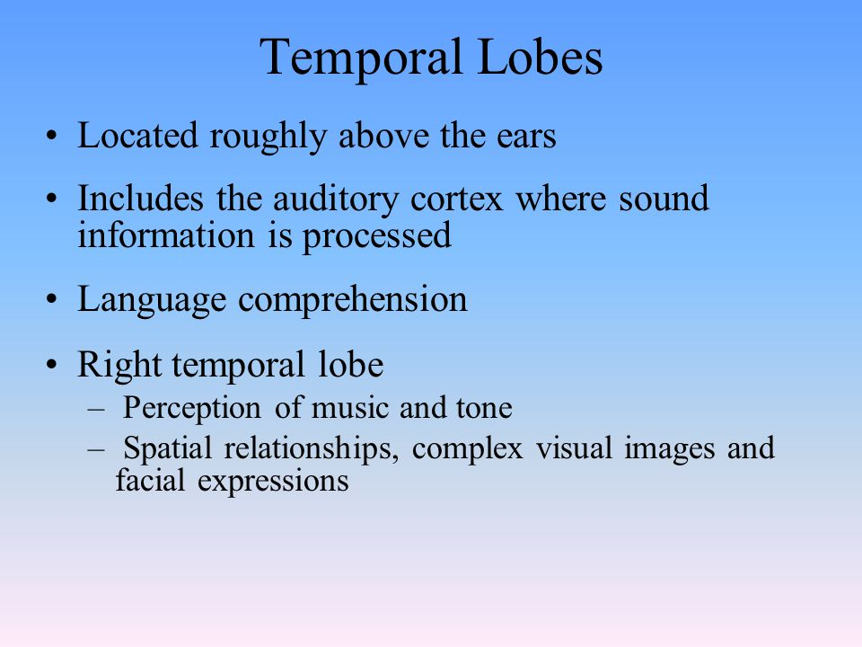 Temporal Lobes Located roughly above the ears Includes the auditory cortex where sound information is processed Language comprehension Right temporal lobe – Perception of music and tone – Spatial relationships, complex visual images and facial expressions