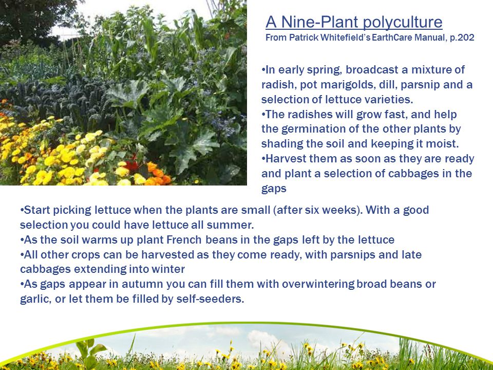A Nine-Plant polyculture From Patrick Whitefield's EarthCare Manual, p.202 In early spring, broadcast a mixture of radish, pot marigolds, dill, parsni