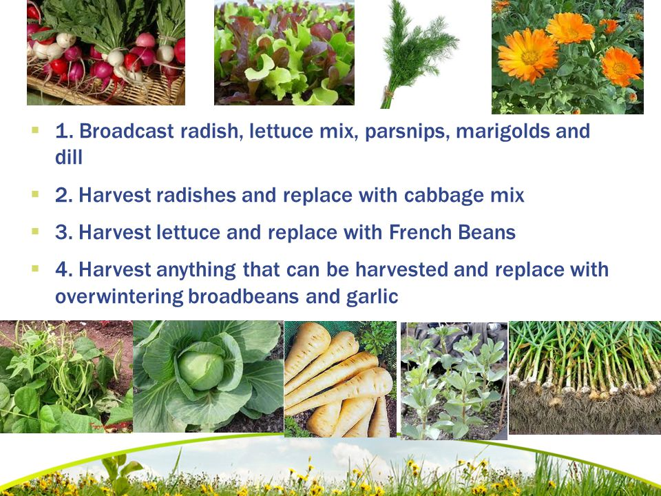  1. Broadcast radish, lettuce mix, parsnips, marigolds and dill  2. Harvest radishes and replace with cabbage mix  3. Harvest lettuce and replace w